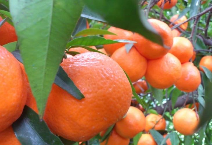 Опасни мандарини и портокали, бъкани с отровен химикал, заливат страната!